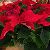 Christmas Plant Sale at St. Matthew's Parish in Randolph, NJ