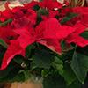Christmas Plant Sale at St. Matthew's Parish in Randolph,NJ